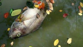 Tote Fische und gefallenen die Blätter, die auf planktonic Algen schwimmen, wässern stock footage