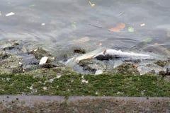 Tote Fische wegen der Verschmutzung im Wasser wegen des Abfalls Stockfotografie
