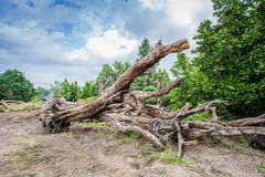 Tote große Bäume Lizenzfreie Stockfotografie