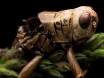 Tote Heuschrecke, die grünem Gras anhaftet lizenzfreies stockfoto