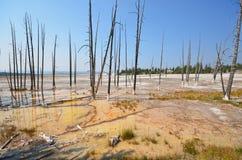 Tote lodgepole Yellowstone Kiefern Stockfotos