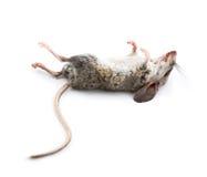 Tote Maus mit Füßen zum Himmel Stockfotos