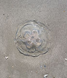 Tote Quallen am Strand Stockfotografie
