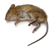 Tote Ratte Stockfoto