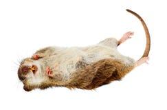Tote Ratte Lizenzfreies Stockbild