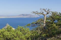 Tote Reliktkiefer auf einem Berghang über dem Meer Lizenzfreies Stockfoto