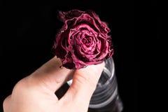 Tote Rose Stockbilder