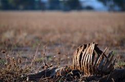 Tote Schafe mit dem Brustkorb herausgestellt auf dem trockenen Gebiet Stockfotografie
