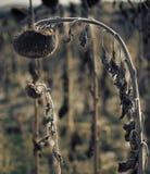 Tote Sonnenblume Lizenzfreie Stockbilder