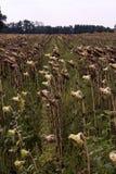 Tote Sonnenblumen Lizenzfreies Stockfoto