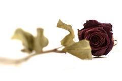 Tote trockneten Rosafarbenes auf weißem Hintergrund Stockfotos