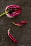 Tote Tulpe lizenzfreie stockbilder