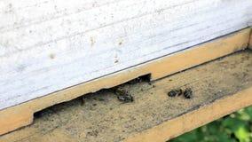 Tote und sterbende Bienen stock video footage