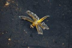Tote Vier-beschmutzten Geleitbootlibelleninsekt stockfotografie