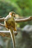 Totenkopfäffchen in chiangmai Zoo chiangmai Thailand Lizenzfreie Stockbilder