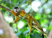 Totenkopfäffchen, das auf Baumast, Costa Rica sich entspannt Stockfotos