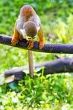 Totenkopfäffchen, das auf einem Baumast sitzt Stockfotografie