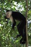 Totenkopfäffchen, das in einem Baum stillsteht Lizenzfreies Stockbild