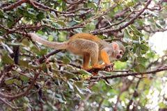 Totenkopfäffchen Saimiri auf einem Baumast Stockfoto