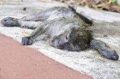 Toter Affe Stockbild