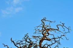 Toter Akazien-Baum Stockfoto