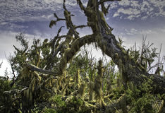 Toter Baum abgedeckt im Moos Lizenzfreies Stockfoto