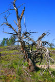 Toter Baum auf dem Gebiet Stockbild