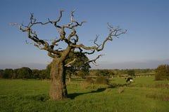 Toter Baum auf dem Gebiet mit interessantem Zweig u. Kühen Stockfotografie