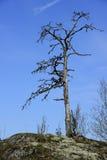 Toter Baum auf einem Felsen Stockfotografie