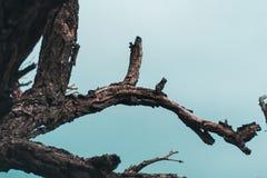 Toter Baum auf Hintergrund des blauen Himmels, tote Zweige eines Baums Trockener Baumzweig Teil des einzelnen alten und toten Bau stockfotografie