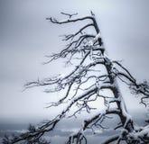 Toter Baum bedeckt mit Schnee Stockbilder