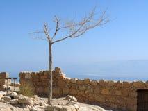 Toter Baum bei Masada Lizenzfreie Stockfotos