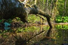 Toter Baum, der im grünen Wasserbecken mit Reflexionen liegt stockfotografie
