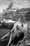Toter Baum in der Schwarzweiss-Bildart; NEUSEELAND, IM APRIL 2017 lizenzfreie stockfotografie