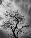 Toter Baum des Schattenbildes auf Hintergrund des bewölkten Himmels Lizenzfreies Stockfoto