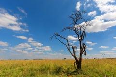 Toter Baum gegen den blauen Himmel Lizenzfreie Stockbilder