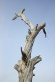 Toter Baum gegen den Himmel Stockbilder