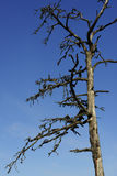 Toter Baum gegen einen blauen Himmel Lizenzfreie Stockfotos
