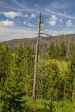 Toter Baum im Kiefernwald Lizenzfreies Stockfoto