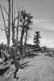 Toter Baum im Nationalpark der bryce Schlucht, Utah stockfotos