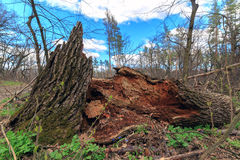 Toter Baum im Wald Lizenzfreie Stockbilder
