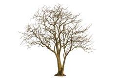 Toter Baum lokalisiert mit weißem Hintergrund Stockfotografie