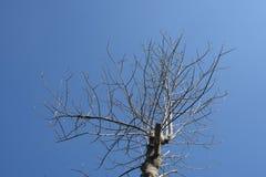 Toter Baum mit blauem Himmel stockfotografie