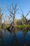 Toter Baum mit Reflexion Stockfotografie