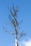 Toter Baum und Niederlassungen gegen blauen Himmel Stockbild