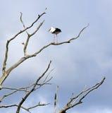 Toter Baum und Storch Lizenzfreie Stockbilder