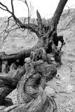 Toter Baumstumpf Stockbilder
