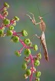 Toter Blatt Mantis Lizenzfreie Stockbilder