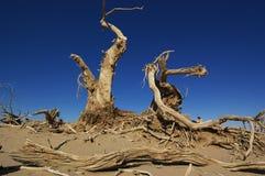 Toter Diversifolia Populus Stockfotografie
