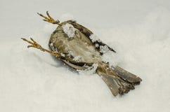 Toter gefrorener Spatz Stockfoto